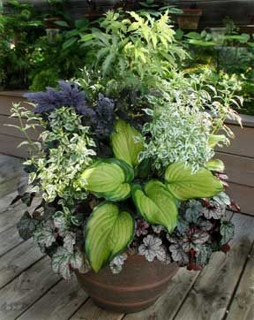 Gorgeous shade pot... Sambucus 'Sutherland Gold', Cimicifuga 'Pink Spike' Caryopteris 'Snow Fairy', Heuchera 'Silver Scrolls', and 'Stained Glass'  hosta.