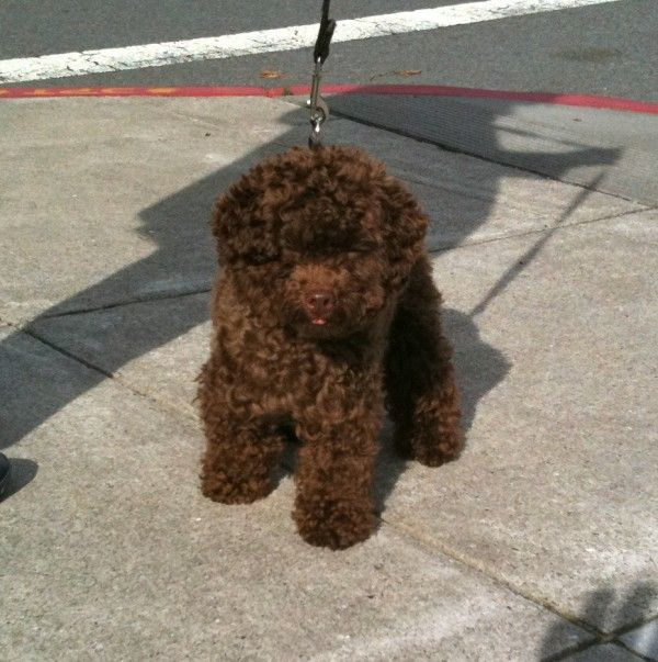 Dog Of The Day Toto The Toy Poodle Toy Poodle Puppies Brown
