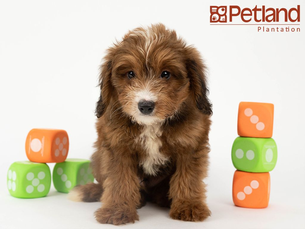 Petland Florida Has Mini Bernedoodle Puppies For Sale Interested In Finding Out More About This Breed Check Out Our A Bernedoodle Puppy Puppy Friends Puppies
