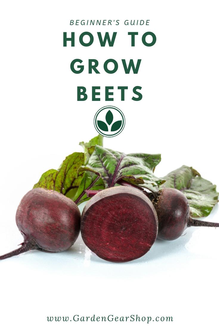 Growing Beets Beginner S Guide Growing Beets Beets Beet Plant