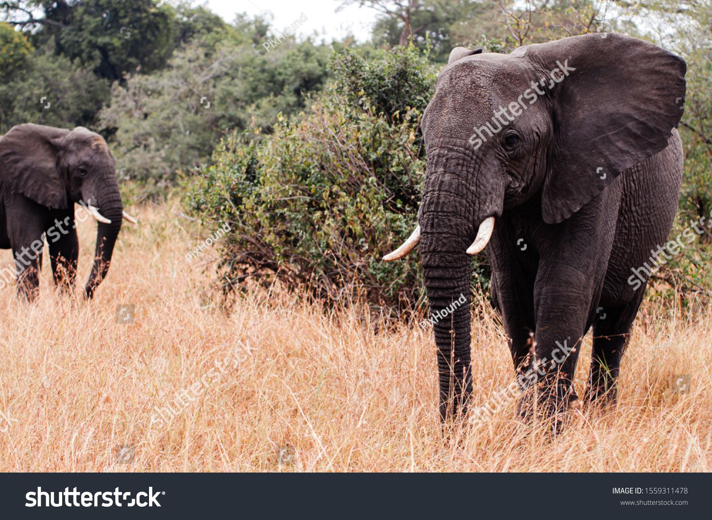 Herd of large African Elephants in golden grass field in Grumeti reserve, Serengeti Savanna forest in Tanzania - African safari wildlife watching trip #Ad , #AD, #grass#golden#Grumeti#field
