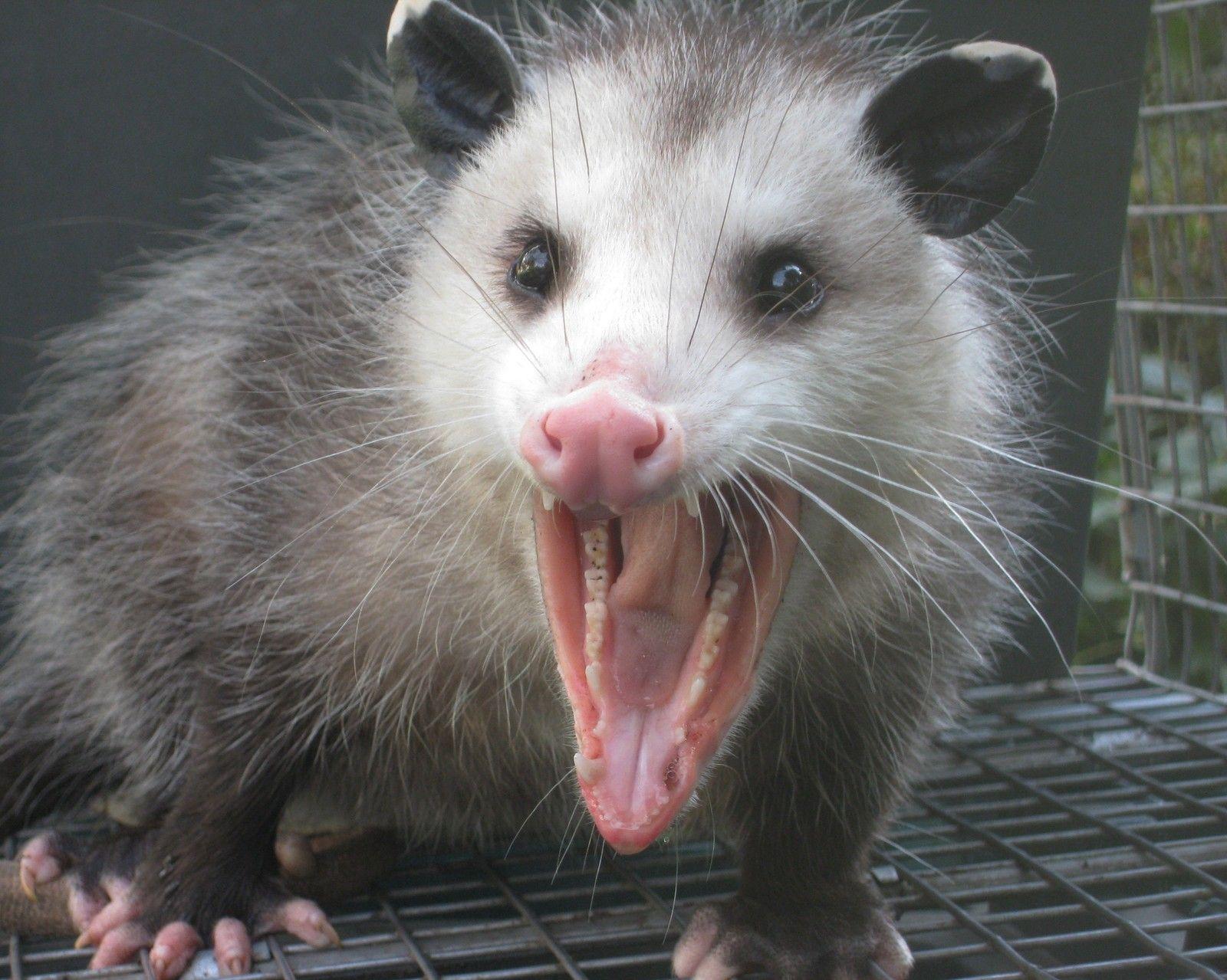Opossum / Possum 8 x 10 GLOSSY Photo Picture | Opossum ...