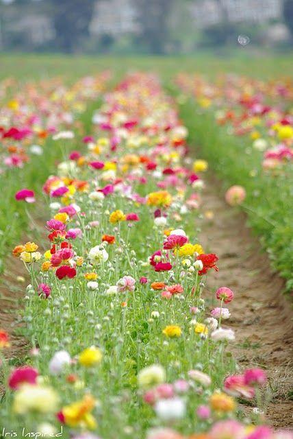 Iris Inspired Carlsbad Flower Fields Flower Field Flower Farm