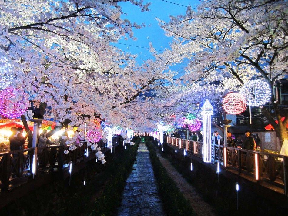 Jinhae Cherry Blossom Festival Is Korea S Largest Cherry Blossom Festival Over 2 Million Tourists C Cherry Blossom Festival Cherry Blossom Petals Korea Travel