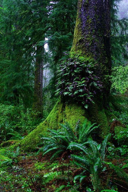 Ferns on old growth tree, Oswald West State Park, Oregon - US