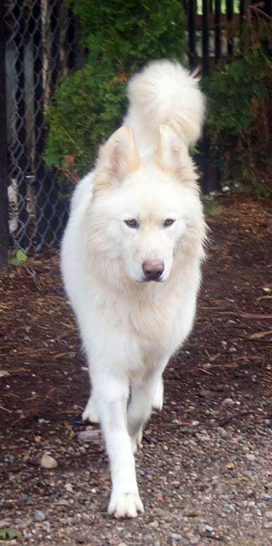 Samoyed Cross Breeds German Shepherd Husky White German