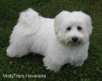 Picture Of A Cute White Maltese Puppy On A White Background In A Stock Photo
