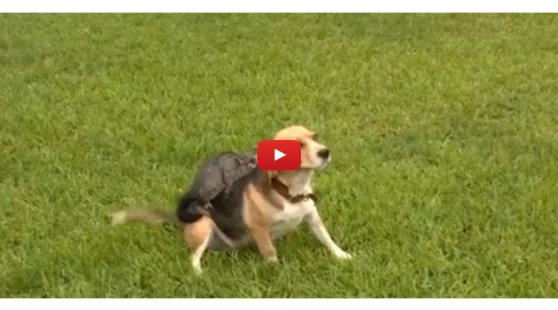 Video Dog Adopts Orphaned Possum After Losing Her Own Pups Pup Baby Possum Adoption