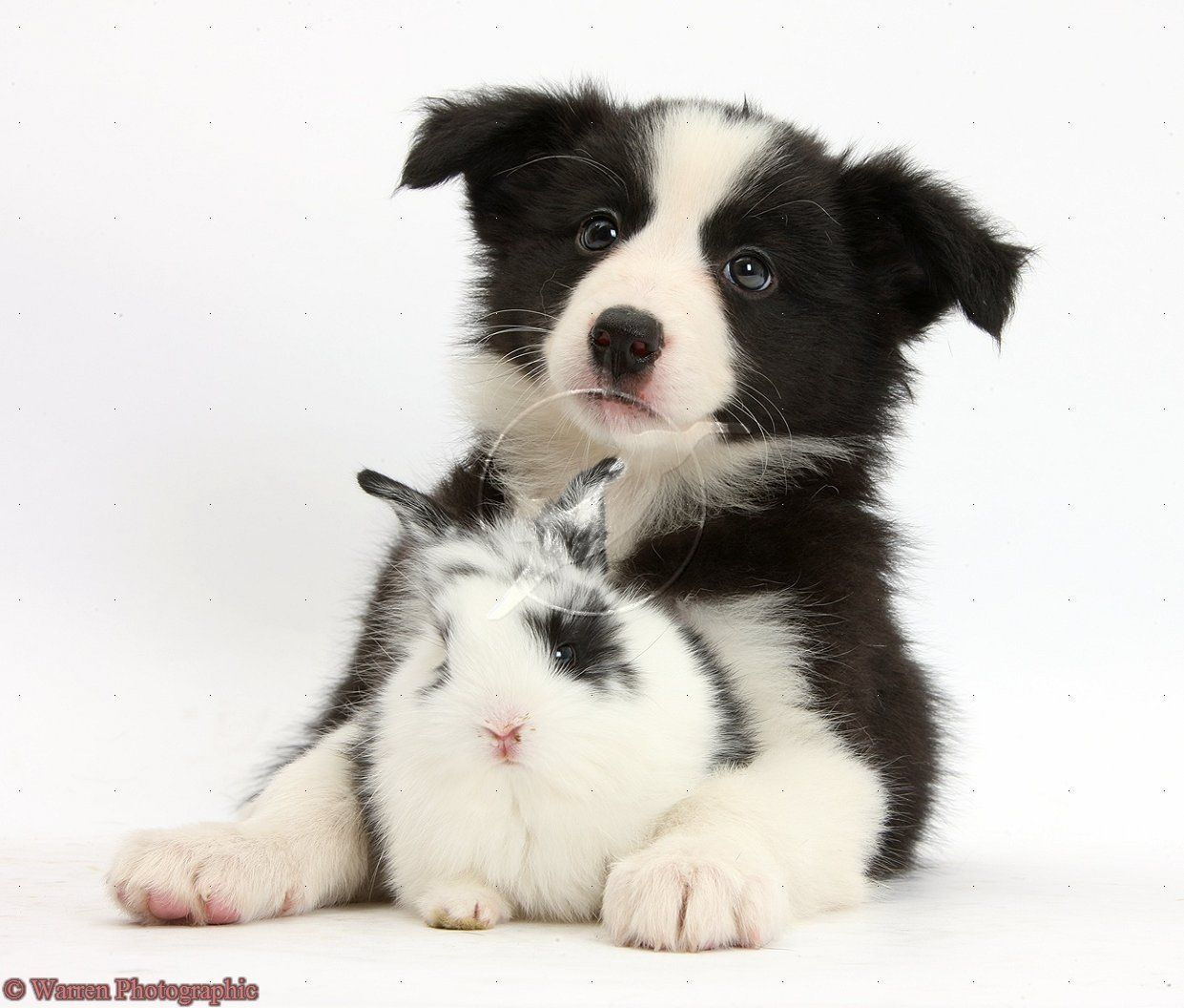 Border collie puppy and bunny ) Border collie puppies