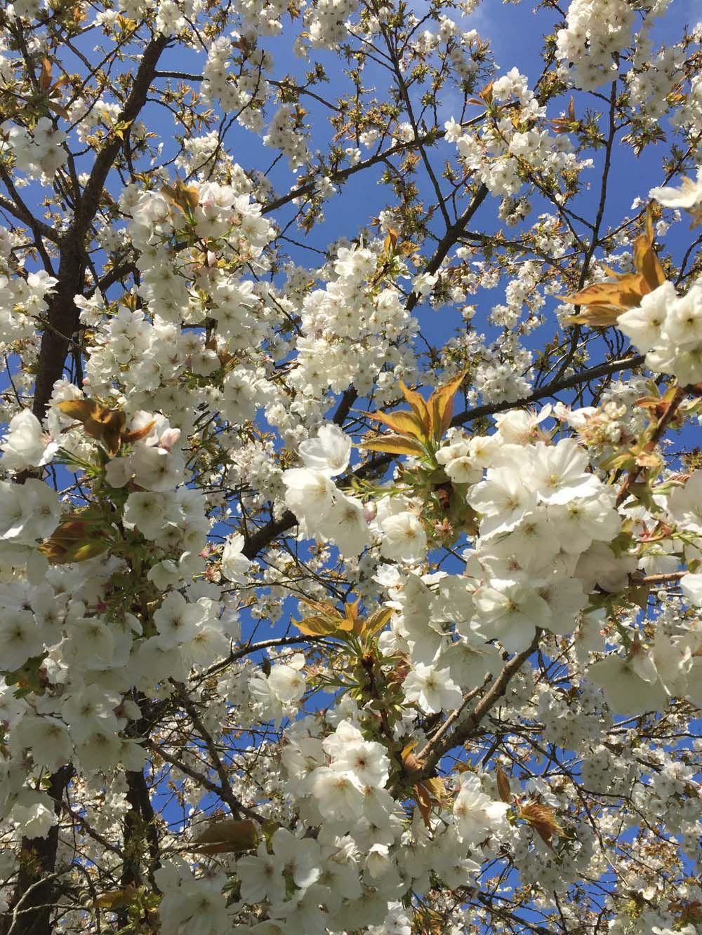 White Cherry Blossom Prunus Yedoensis Oc 1000 X 1333 Chesham Buckinghamshire England White Cherry Blossom White Cherries Plant Fungus