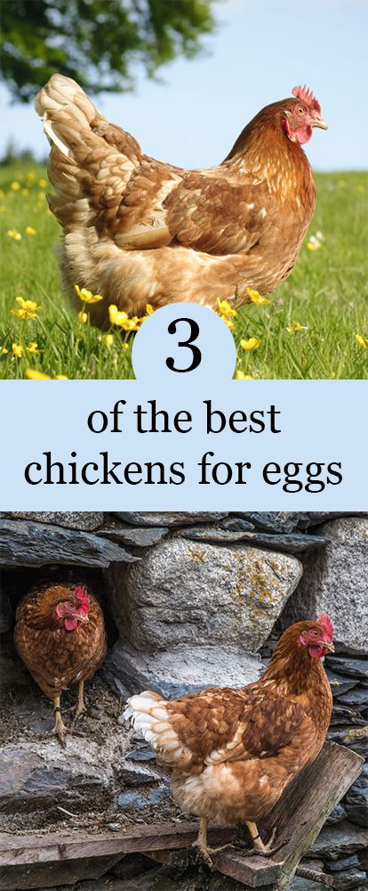 3 of the best chickens for eggs | Best chickens for eggs ...