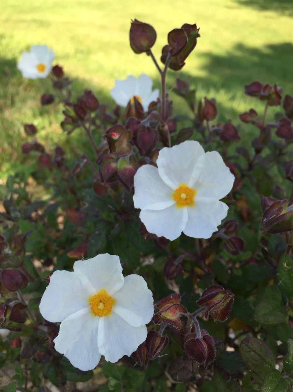 Arbutus unedo Erecta | Boomkwekerij, Kleine tuinen, Tuin