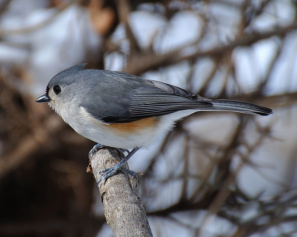Tufted-titmouse.......