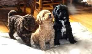 Labradoodle Puppies Training Labradoodle Puppy Australian Labradoodle Puppies Labradoodle