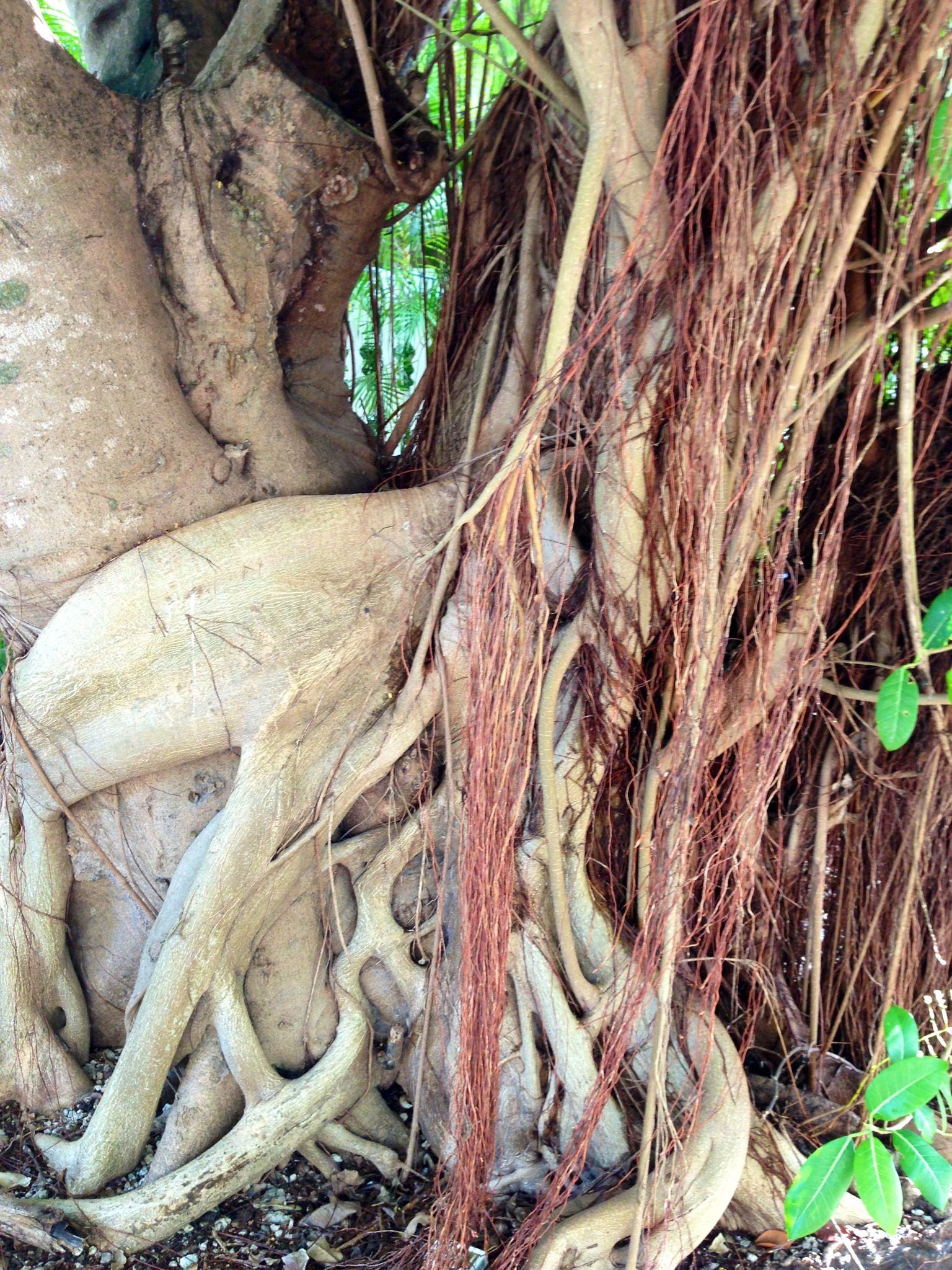 Twisted trunk of big ficus tree in Key West. photo by VHKW.com