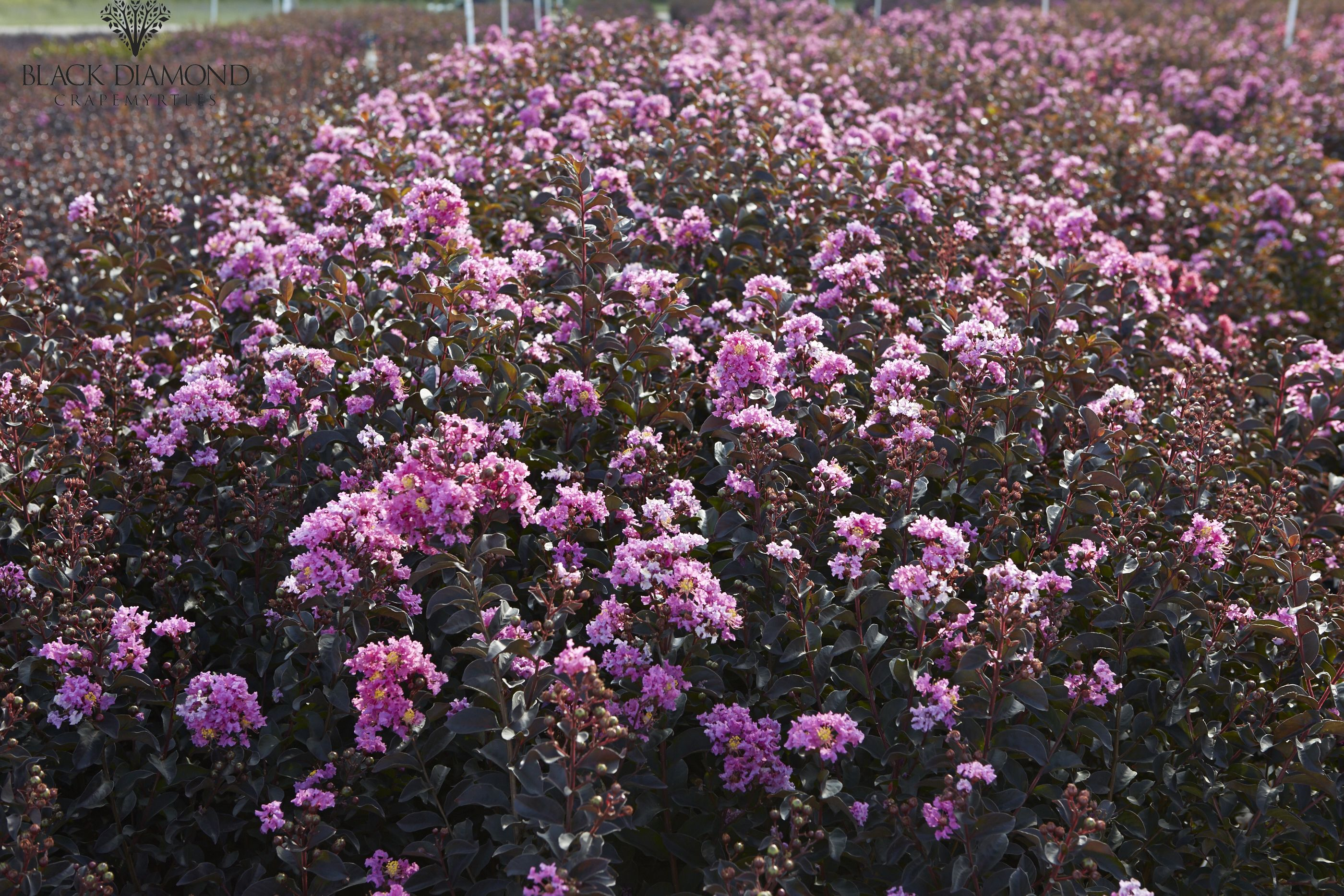 Lavender Lace Is Our Newest Black Diamond Crapemyrtle This Jewel For Your Landscape Will Be Available Fall 2016 Myblackdi Crape Myrtle Black Diamond Diamond