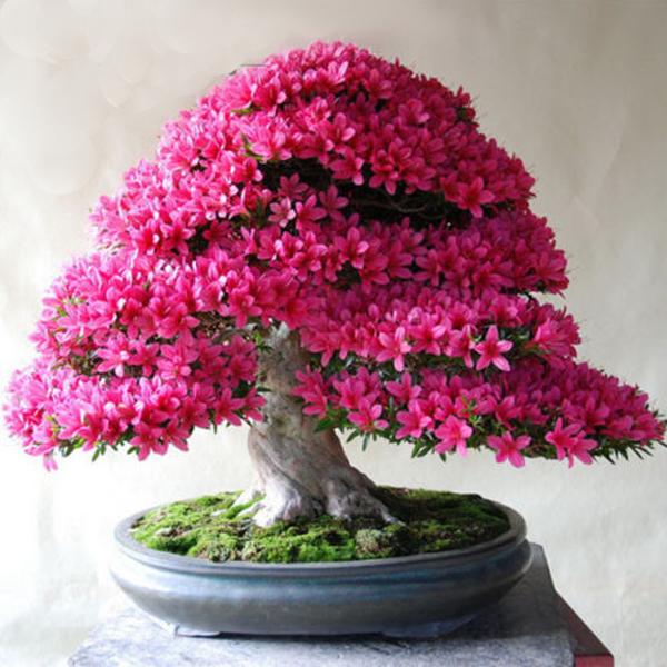 4d4320fcf 20 Pink Azalea Cherry Flower Bonsai Tree Seeds – Rama Deals