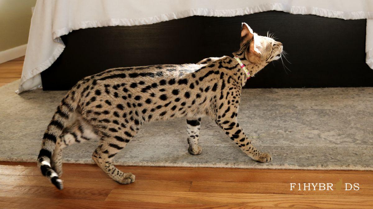 F1hybrids Savannah Cats Savannah Cat Domestic Cat Breeds Serval Cats