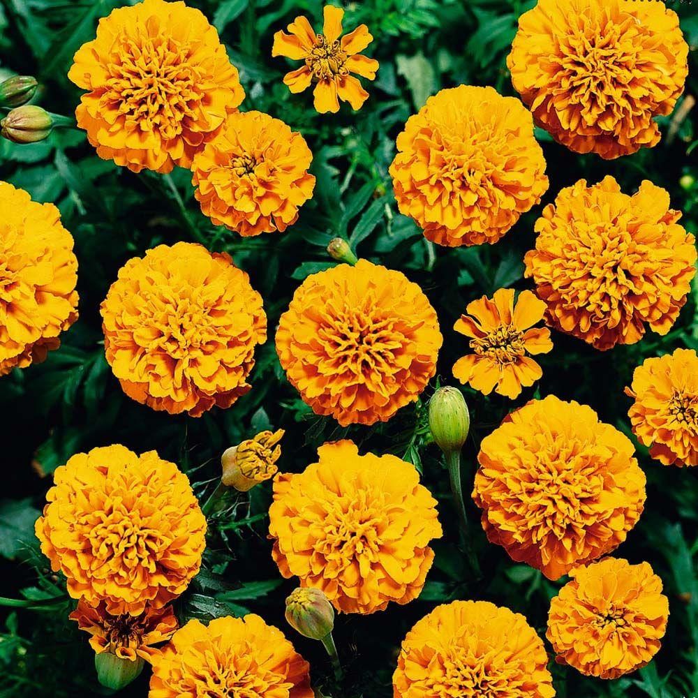 Latin name Tagetes erecta, Common name Marigold (Mexican
