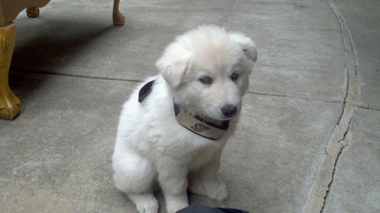 White Lab Husky Mix Puppies Dog Gallery Images Husky Poodle Husky Mix Puppies
