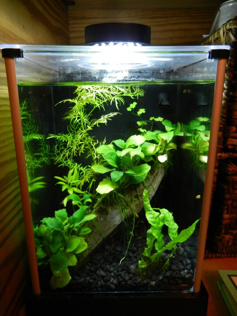 Lovely Planted 2g Fluval Spec W/Dario Dario