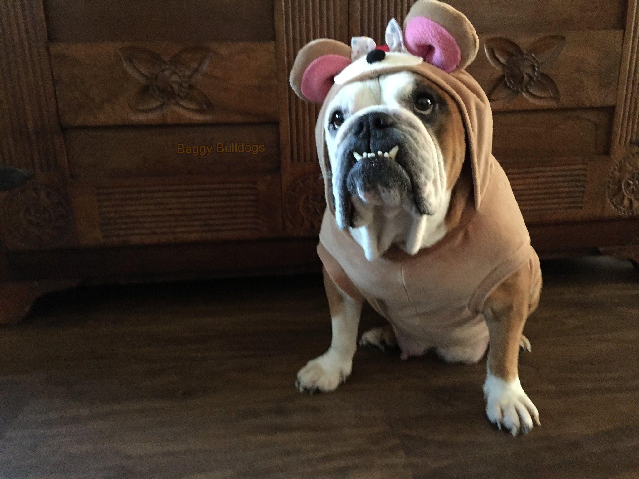 3 25 18 Newark Delaware English Bulldog Meet Cheyenne A For
