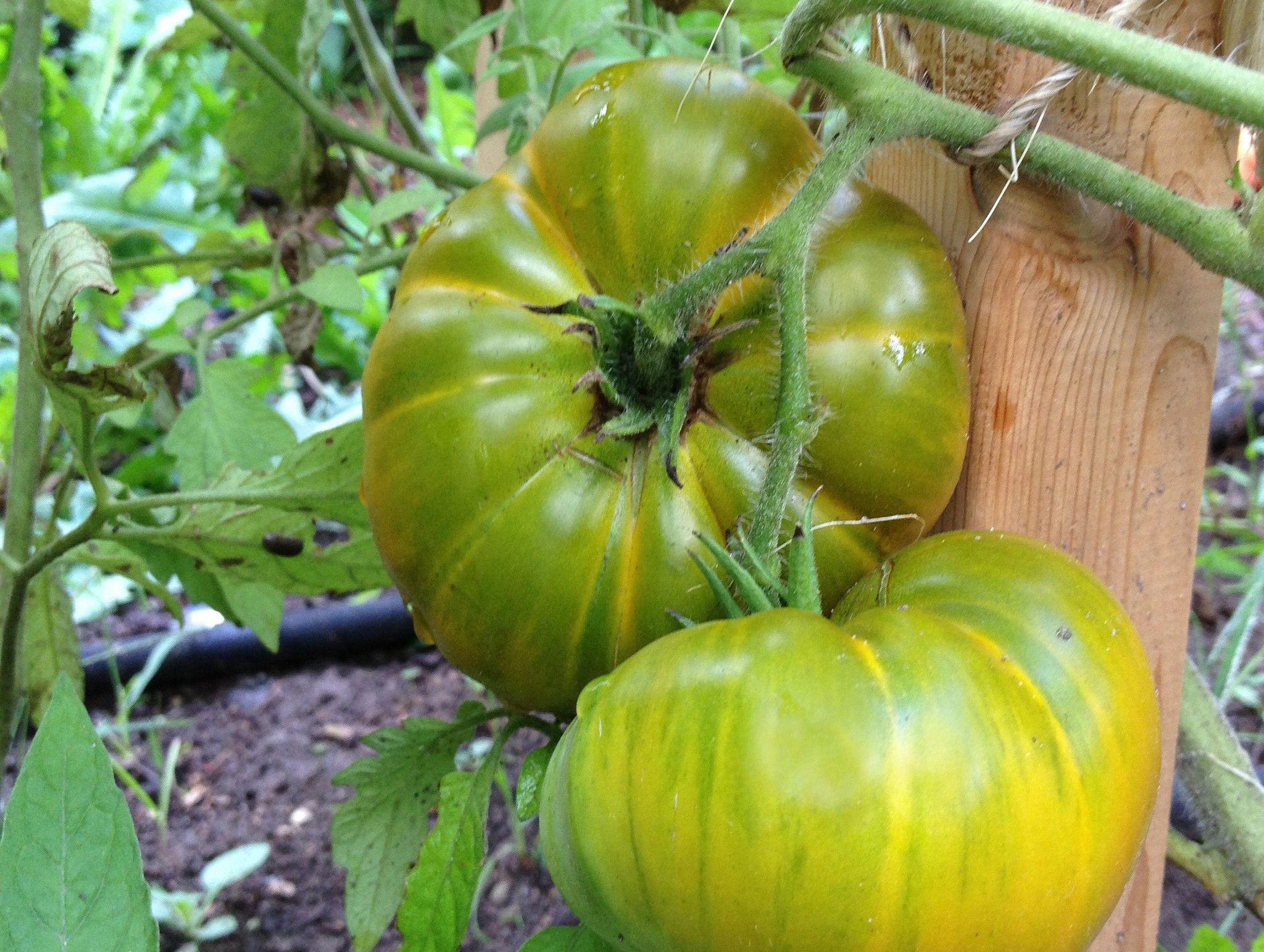 Tasty Evergreen Tomato Nailbourgoundibord00xyzig