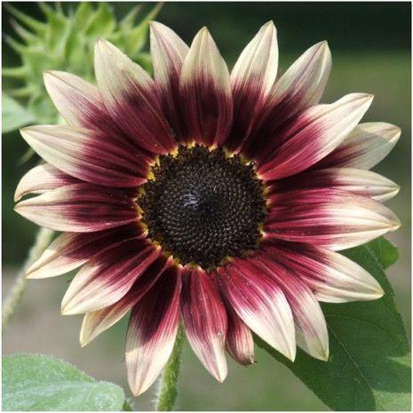 Flower Seeds Wild Flower Seeds Seed Needs Planting Sunflowers Sunflower Garden Plants