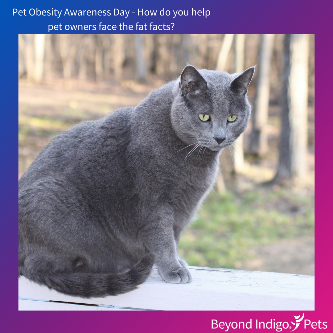Pet Obesity Awareness Day Russian blue cat