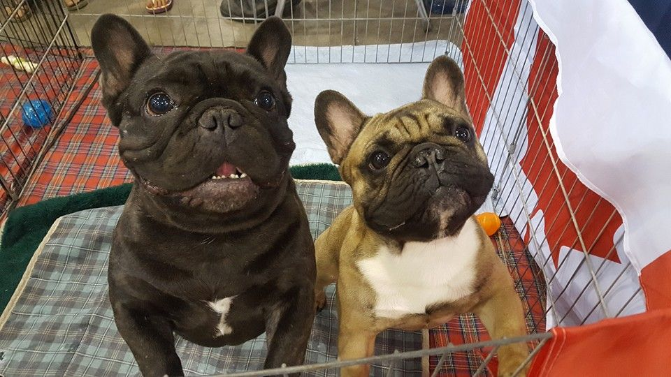 French Bulldogs French Bulldog Bulldog Pets