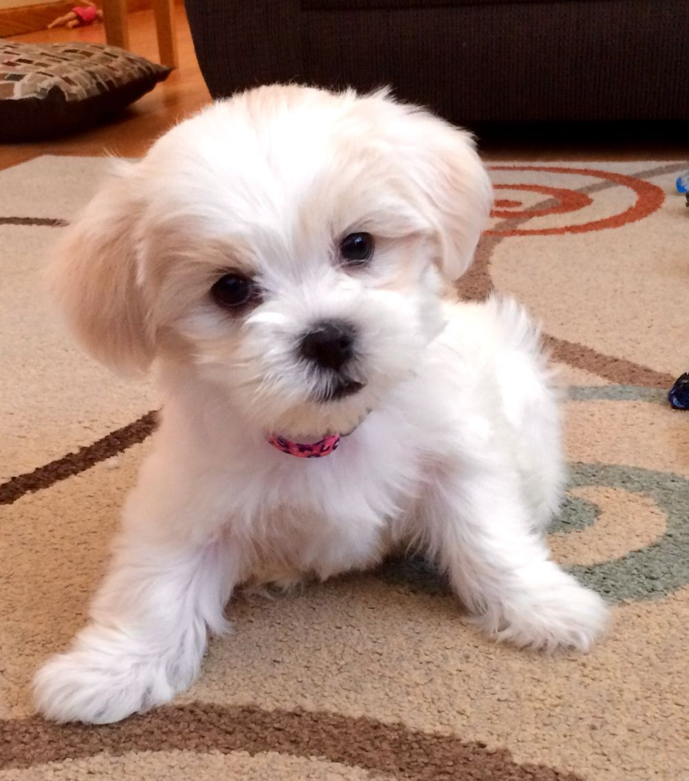 Malshi Puppymalteseshih Tzu Mix 7 Weeks Maltese Animals