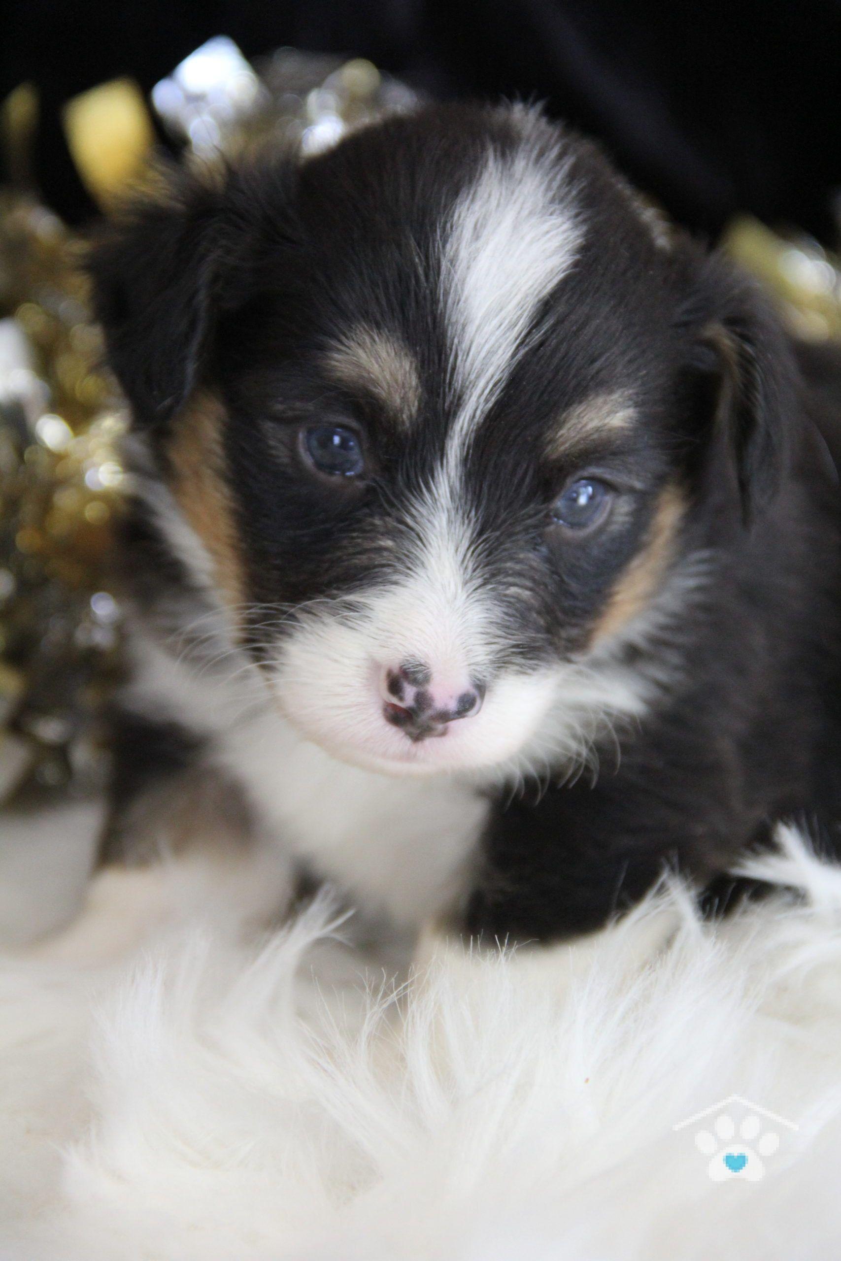A2249b47 E1d3 4d98 955f 5c7618ce7068 In 2020 Pembroke Welsh Corgi Puppies Corgi Puppies For Sale Corgi