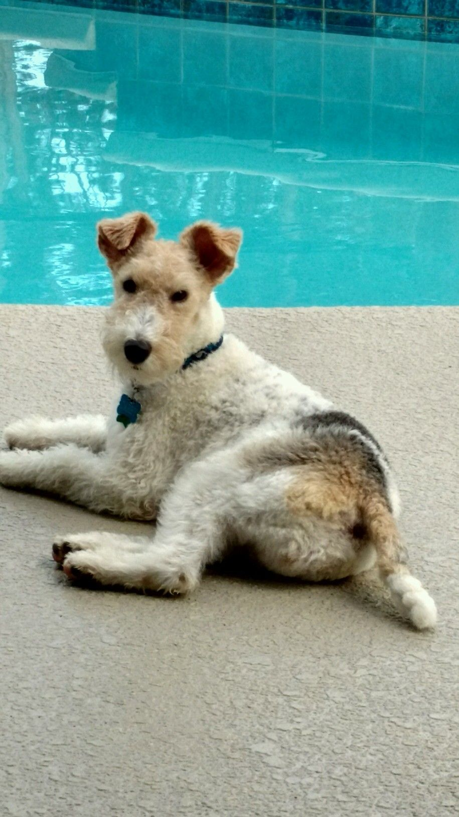 Wirefox hanging by the pool | Terriers | Pinterest | Fox terriers ...