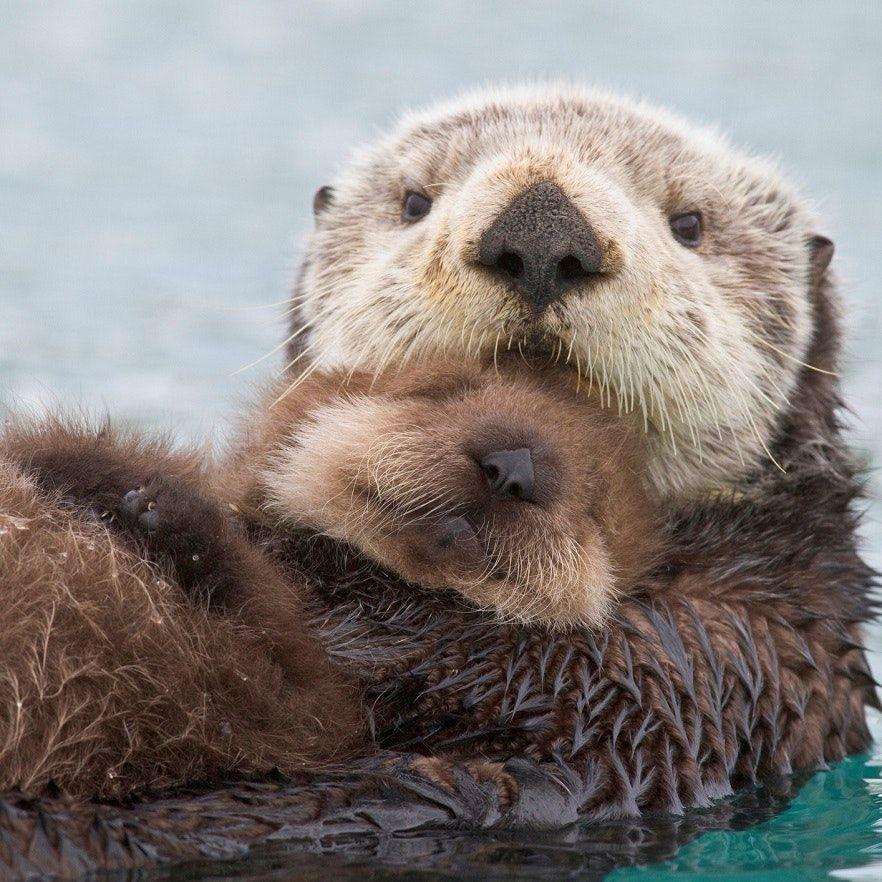 Photo of Sea otter problems predate the fur trade