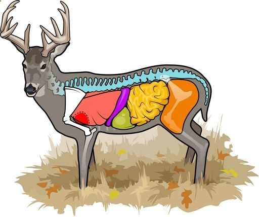 here is the best vital diagram i have seen it even has what your Whitetail Deer Skeleton Diagram