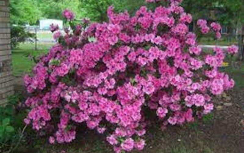 Autumn Carnation Encore Azalea 1 Gallon Shrub Shrubs For Spring Color Togogarden Azalea Bush Flowering Bushes Growing Shrubs