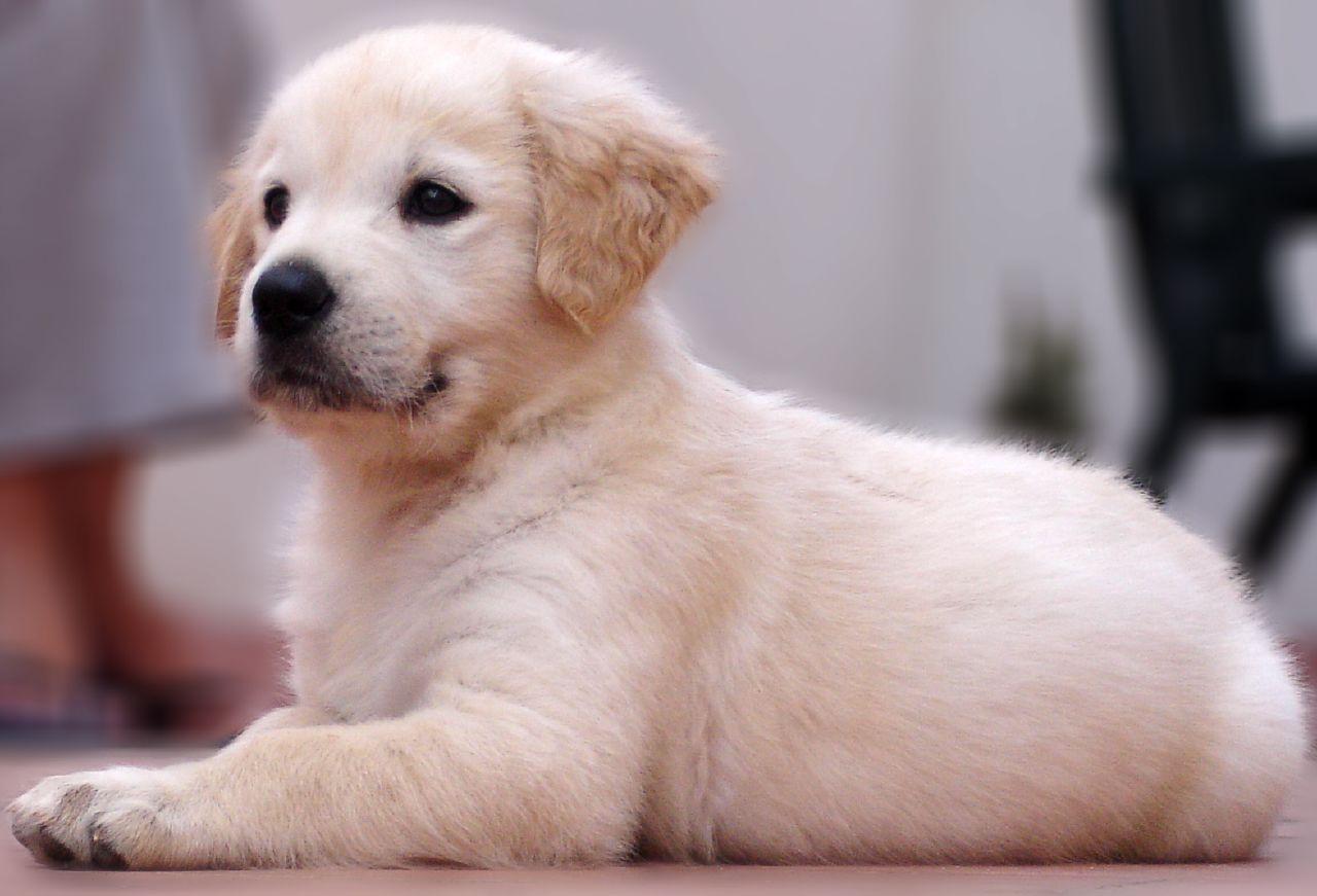 Train A Golden Retriever Golden Retriever Training Dog Training