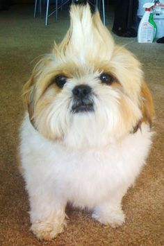 Shih Tzu Haircuts Google Search Cute Animals Pets Shih Tzu Dog