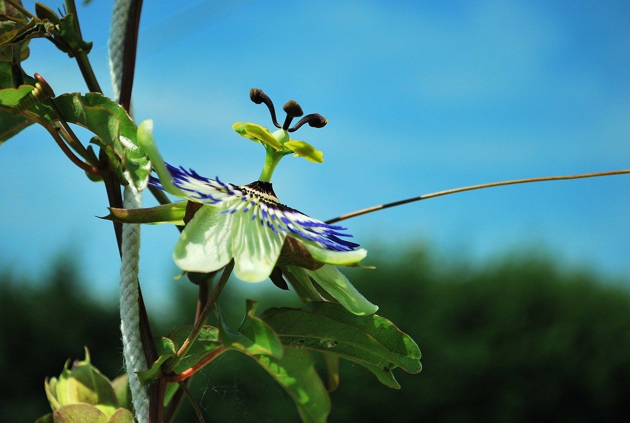 passion flower planting guide