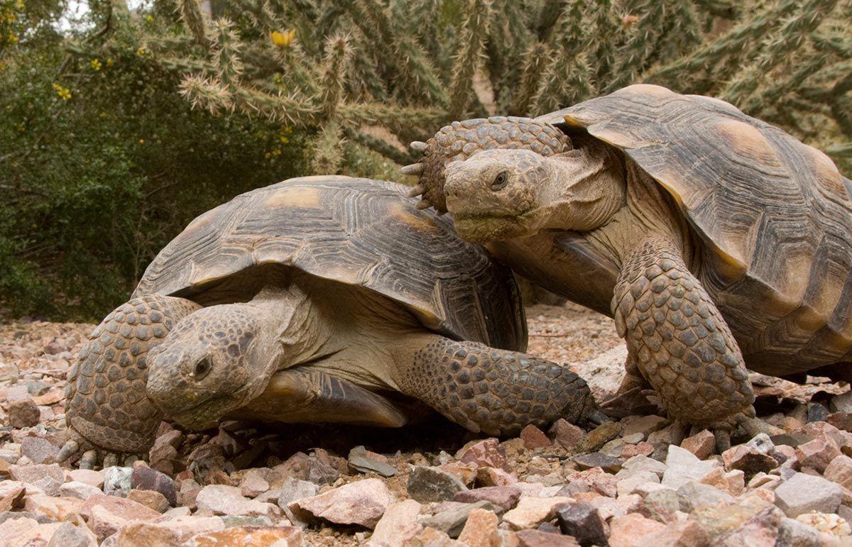 Tortugas Terrestres Tortugas Terrestres Tortugas Y Reproduccion