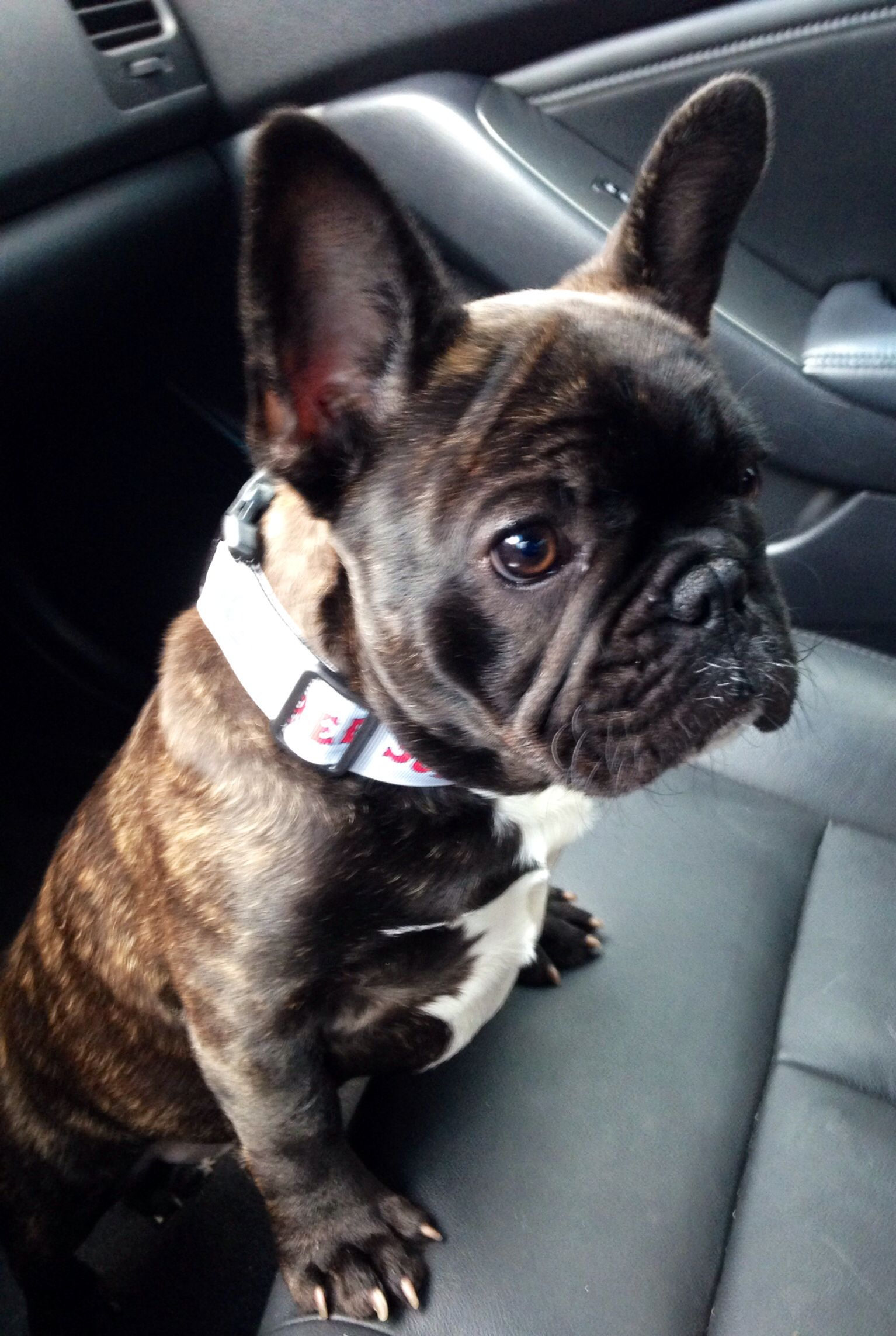 Brindle French Bulldog Puppy Brindle french bulldog