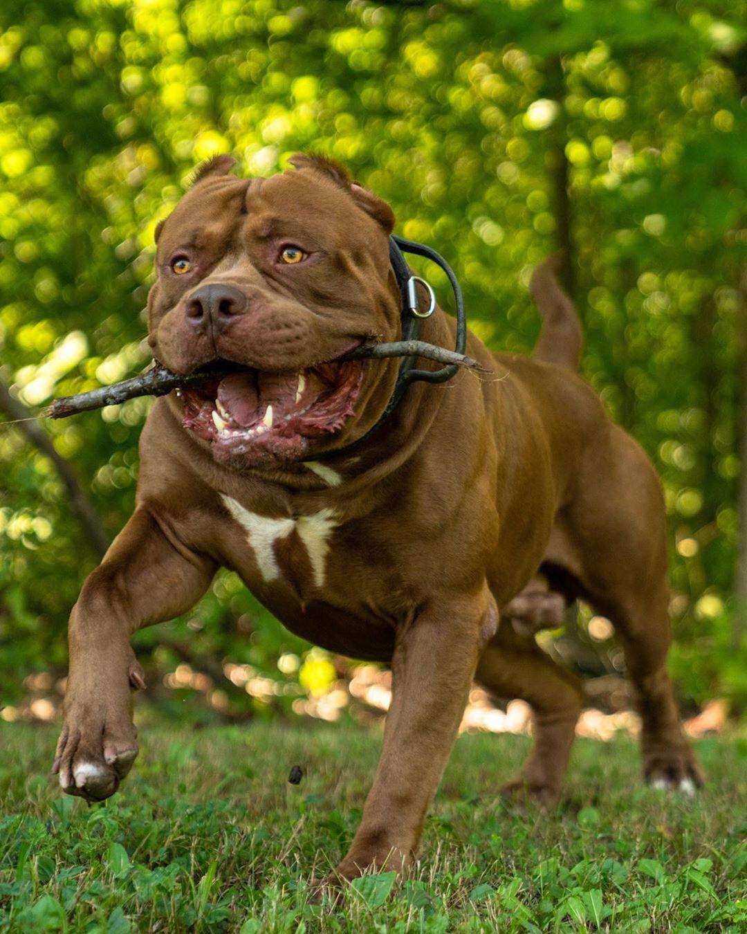 Follow Pitbulldogstuff Big Man Rumble Enjoying The Summer While