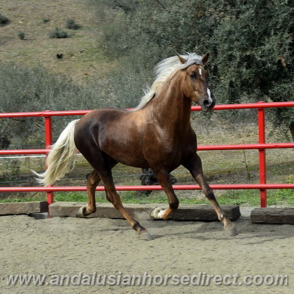 Stunning & beautiful Hispano-Arab for sale! Ponce has a