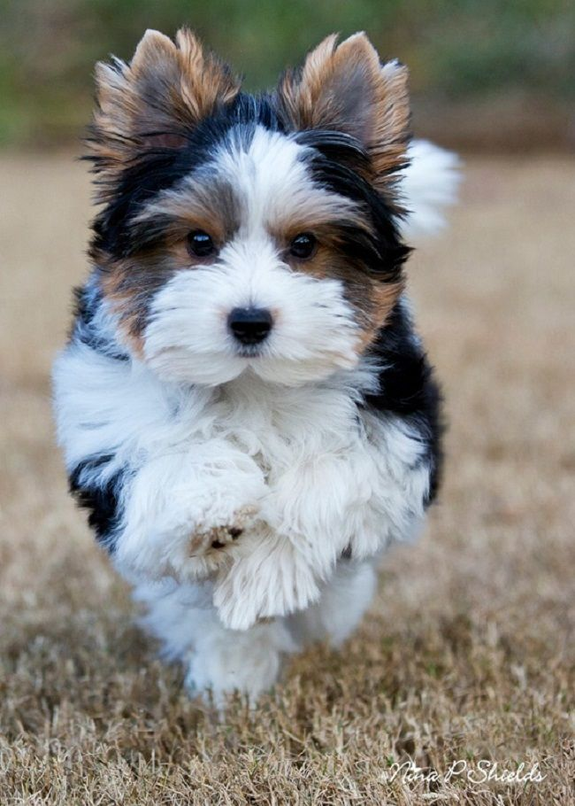 cheap yorkie puppies for sale Yorkie terrier, Biewer yorkie