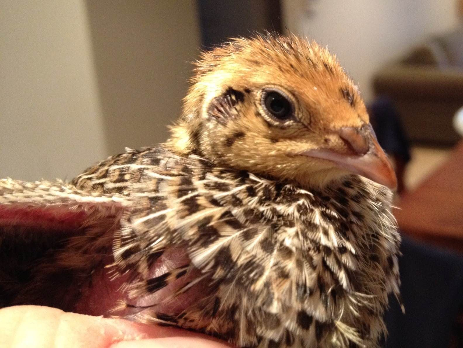 raising courtnix quail from to adults coffee grounds