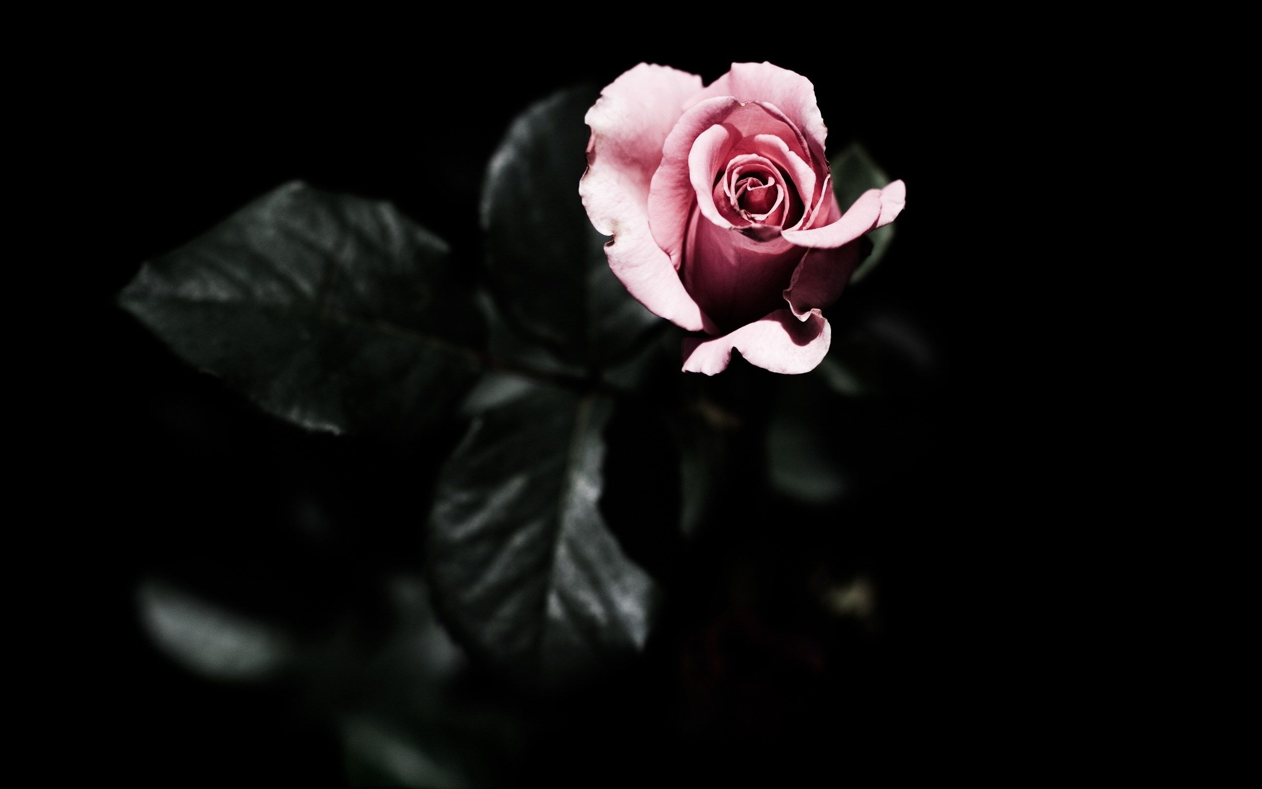 Rose Pink Dark Background Leaves Hd Wallpaper By BillGate