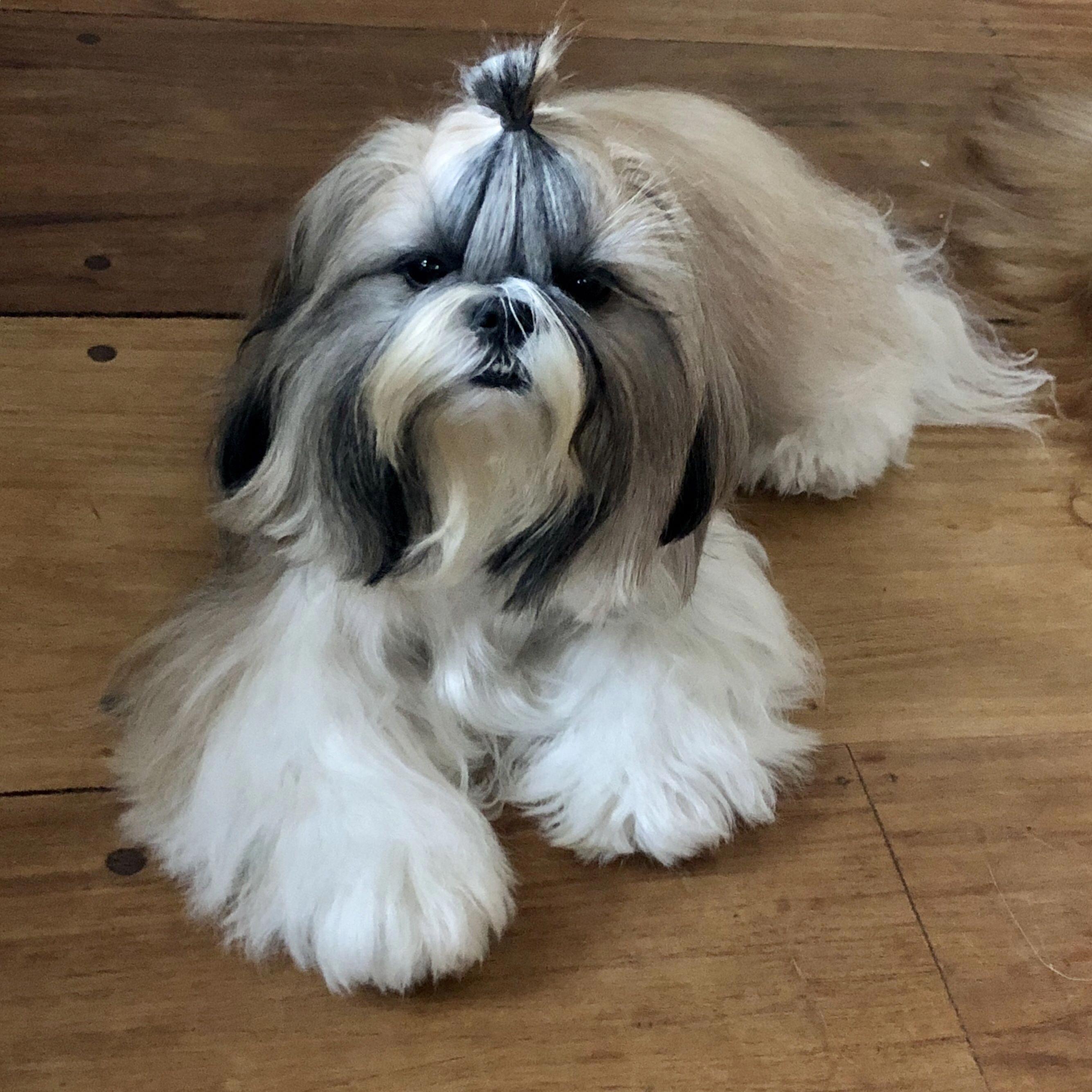Shih Tzu Puppy Size Shihtzugram Shitzurecife Shih Tzu Shih