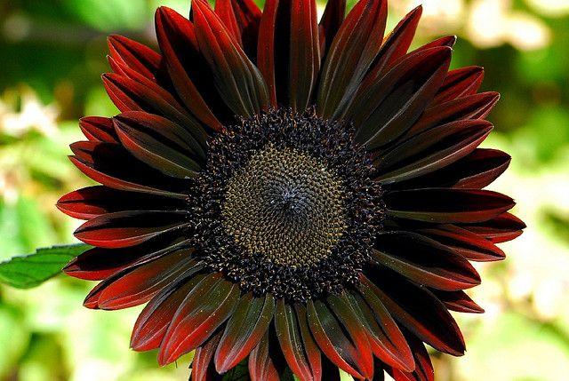Detail Of A Black Sunflower Red Sunflowers Black Flowers Sunflower