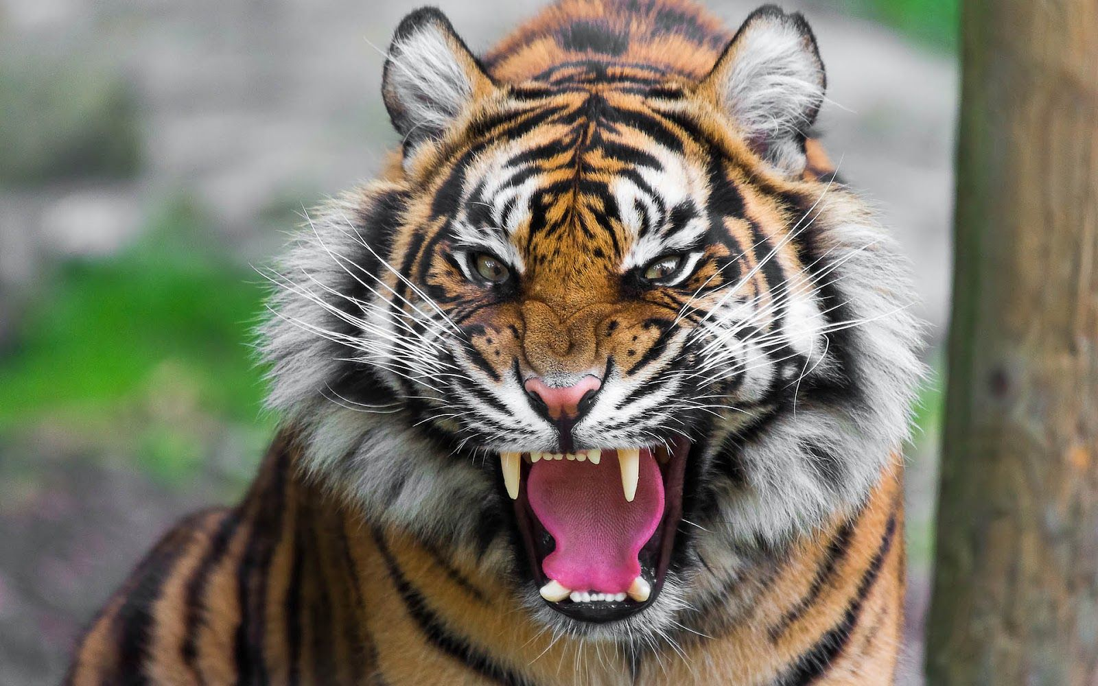 Angry Tiger Face Big Cats Tiger Roaring Tiger Pictures Tiger