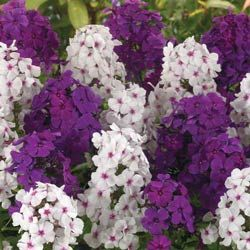 Bulb Lady Best Buys - Phlox Plum Pretty Collection